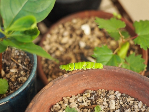 ナミアゲハ 幼虫 みどりちゃん ベランダ