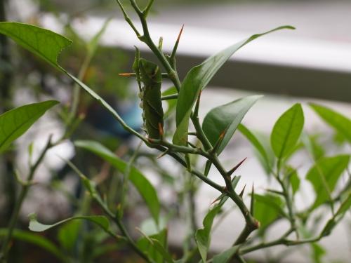 棘が短い柑橘の木
