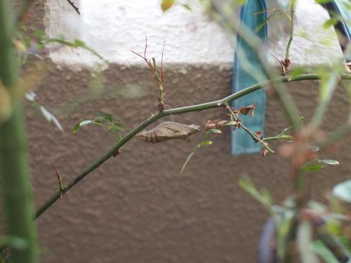 ナミアゲハ 幼虫 蛹 ベランダ