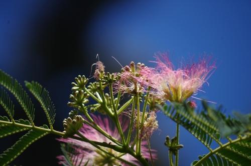 #ねむの木 #福岡市動物園 #FukuokaZoo 軍手みたいな蕾 糸のような花
