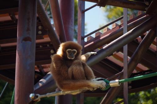 きなこ シロテテナガザル 福岡市動物園