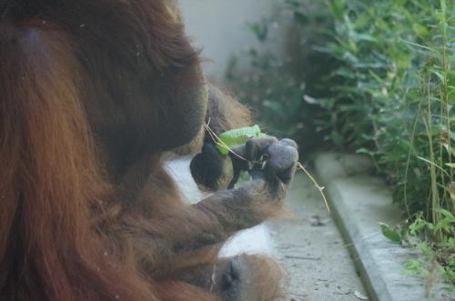 #オランウータン #福岡市動物園 #ミミ #FukuokaZoo #BorneanOrangutan