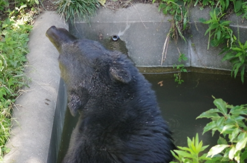 #ニホンツキノワグマ #福岡市動物園 #ゲンキ