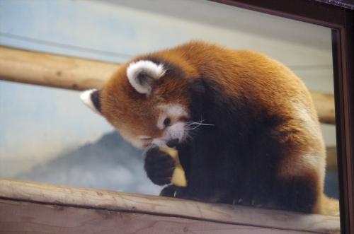 ノゾム #福岡市動物園 #赤パンダ #redpanda #レッサーパンダ