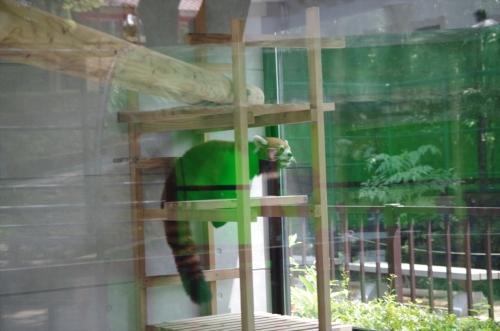 #福岡市動物園 の #ハルマキ ちゃん #赤パンダ #redpanda #レッサーパンダ
