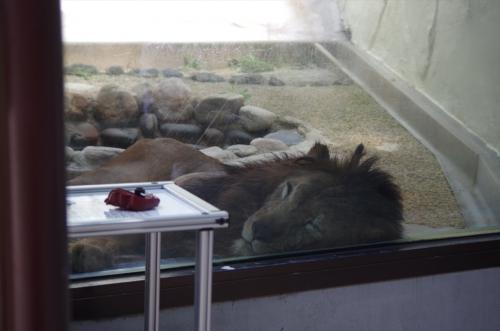 #チャチャ丸君 #福岡市動物園 #ライオン #Lion