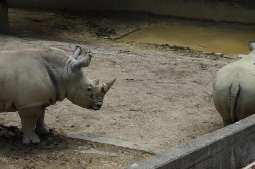 #福岡市動物園 の #ミナミシロサイ