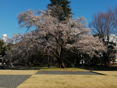 3年目の桜