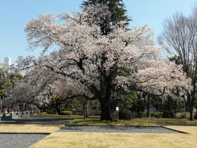 続3年目の桜