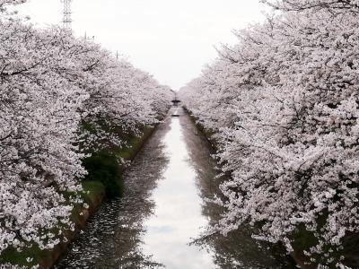 2020年狐塚公園桜1