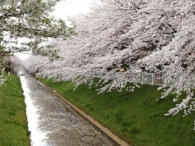 2020年狐塚公園桜2