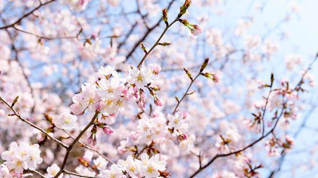 20200326 桜