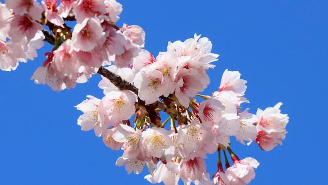 20200327 桜