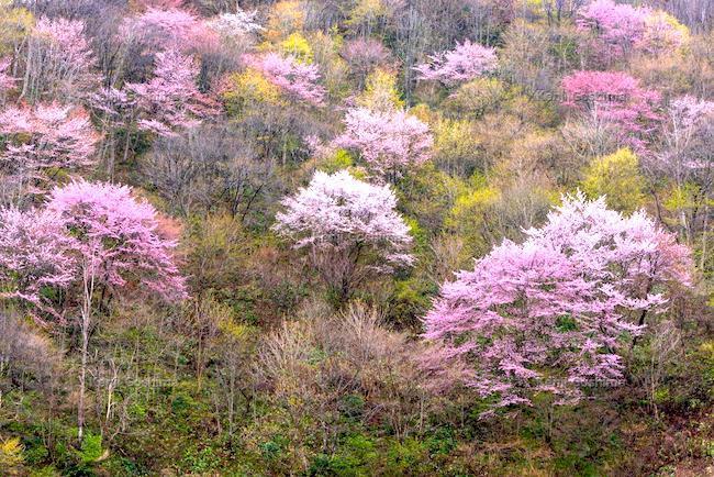 20200330 山桜