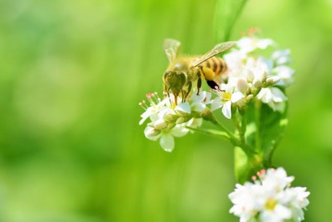 20200712 日本ミツバチ