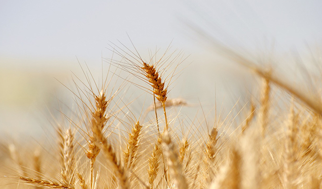 20201112 小麦
