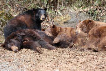 富士サファリお尻を枕にされるクマに、するクマ うらやましそうに見るクマ