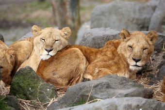 富士サファリパーク お尻を枕にされるライオンに、するライオン