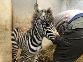 広島市安佐動物公園 赤ちゃん シマウマ2