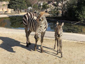 広島市安佐動物公園 赤ちゃん シマウマ3