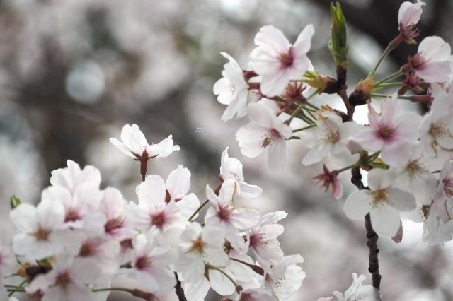 桜200407