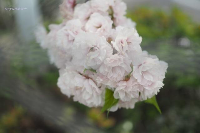 八重桜200426