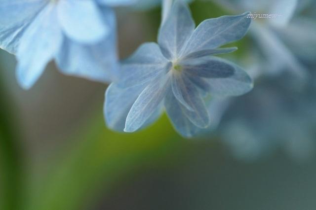紫陽花200606