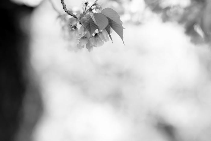 DSC_4983-002桜
