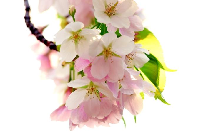 DSC_4952-001桜