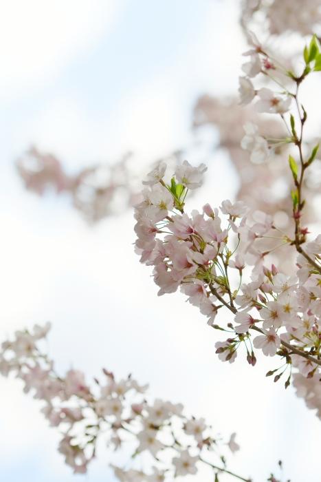 DSC_3984-002桜