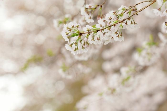 DSC_4577-001桜