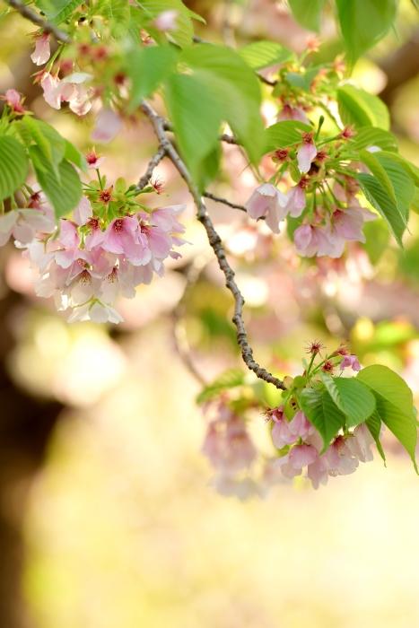 DSC_5001-001桜