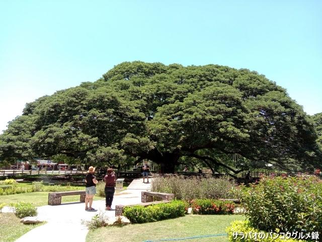 ต้นจามจุรียักษ์(Giant Raintree)