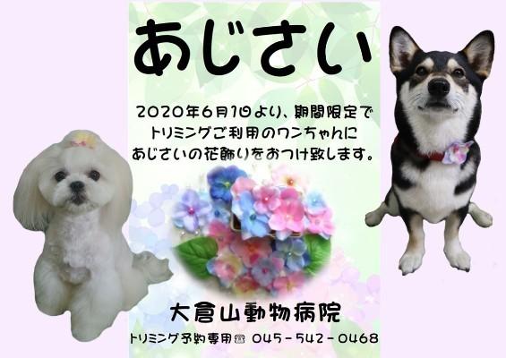 blog用2020あじさい-20200531