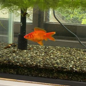 金魚ちゃん20200327