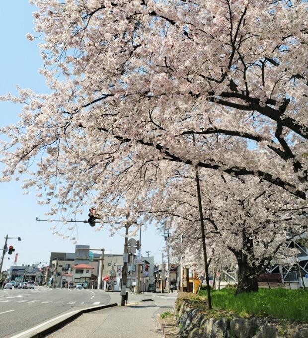 200409バス通りの桜