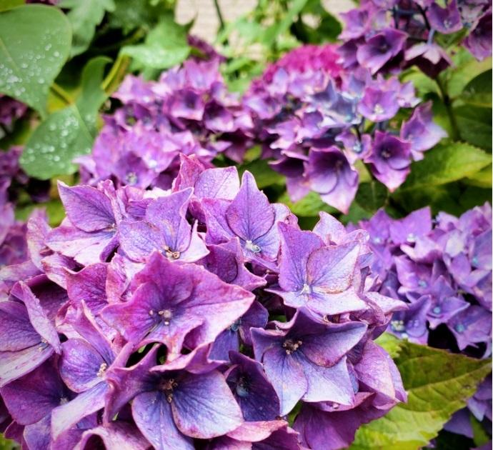 200704紫陽花の最期