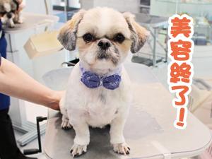 町田駅前徒歩5分のペットショップKAKOでトリミングに来店したシーズーの葵くん