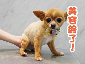 町田駅前徒歩5分のペットショップKAKOでトリミングに来店したチワワのちょこちゃん