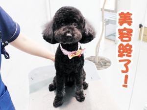 町田駅前徒歩5分のペットショップKAKOでトリミングに来店したトイプードルのAIRちゃん