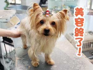 町田駅前徒歩5分のペットショップKAKOでトリミングに来店したヨークシャーテリアのアデルちゃん