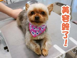 町田駅前徒歩5分のペットショップKAKOでトリミングに来店したヨークシャーテリアのレビちゃん