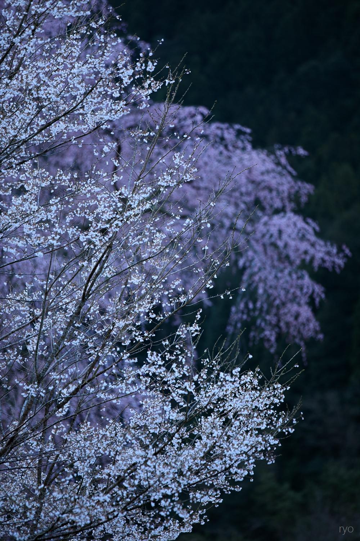 湯の山温泉のしだれ桜_2