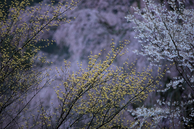 湯の山温泉のしだれ桜_3