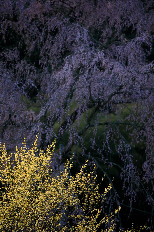 湯の山温泉のしだれ桜_4