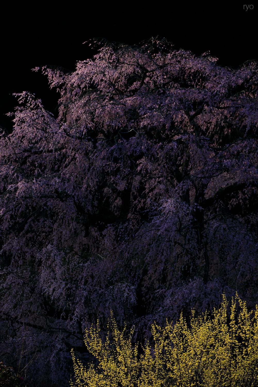 湯の山温泉のしだれ桜_5