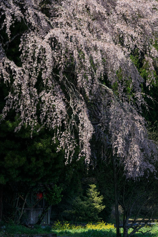 夜泣き地蔵のしだれ桜