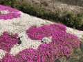 2020 4月 道端の芝桜 1