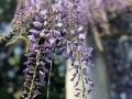 2020 4月 南部丘陵公園 藤と熊蜂