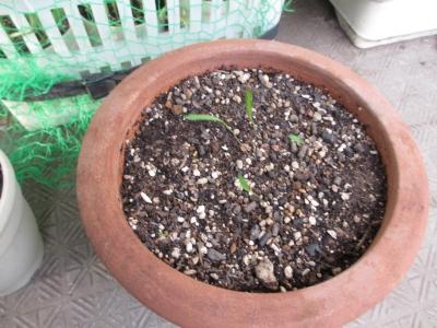 エノコロ草の芽